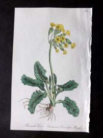 Hogg & Johnson 1864 Hand Col Botanical Print. Common Cowslip Paigle